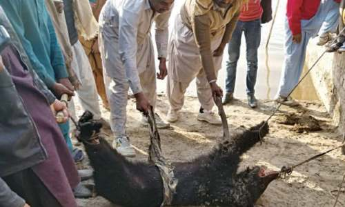 Black bear's death in Sheikhupura remains a mystery