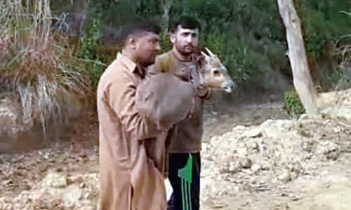 Indian wild deer set free in Sakmal forest