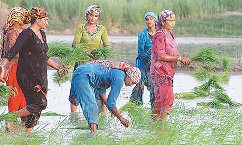 12 hybrid rice varieties to be available from July
