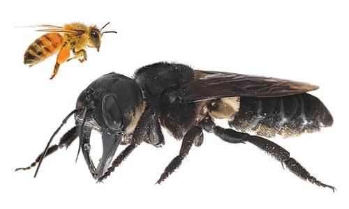 دنیا کی سب سے بڑی مکھی دریافت کرلی گئی