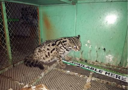 Wildlife staff save rare leopard cat, arrest poachers