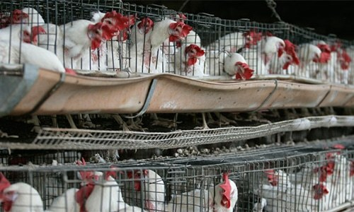 Thousands of chickens dead of Ranikhet disease in Hassanabdal's poultry farms