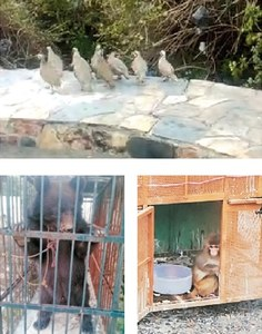 Seven monkeys, 11 chukors confiscated