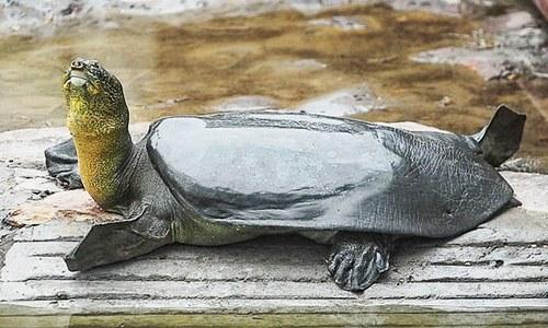 نایاب نسل کے آخری مادہ کچھوے کی 'پراسرار موت'
