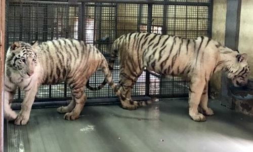 Gift from UAE: Lahore Zoo to receive 10 tigers, 8 lions next week