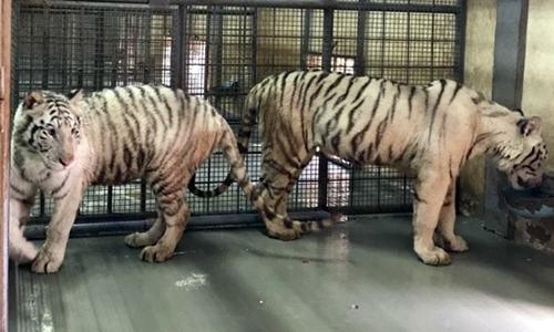 متحدہ عرب امارات کا پاکستان کو 18 نایاب شیر، چیتوں کا تحفہ