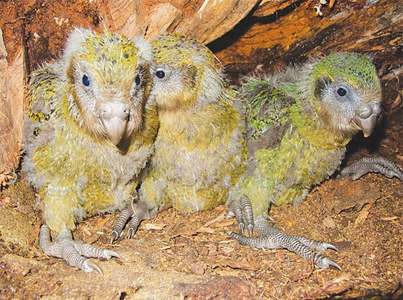 Fattest parrot's numbers boosted by record birth of chicks