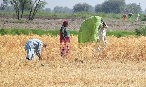 Analysis: Farmers have little cause for joy this year as wheat price remains on lower side