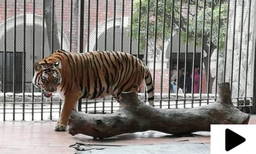 دبئی سے تحفے میں ملنے والے 18 شیر پاکستان پہنچ گئے