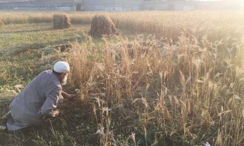 Wheat harvest begins in Bajaur