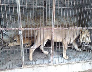Lions pair recovered from pet shop
