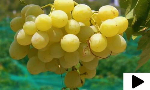 گرمیوں کی سوغات انگور کو کس طرح کاشت کیا جاتا ہے؟