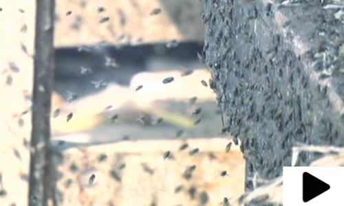 کراچی کی مکھیوں میں خطرناک جراثیم کی موجودگی کا انکشاف