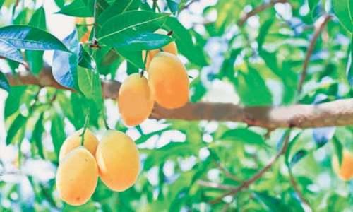 Mango galore: The king rises again