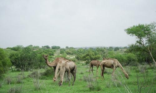 In pictures: Thar desert turns fertile after rainfall