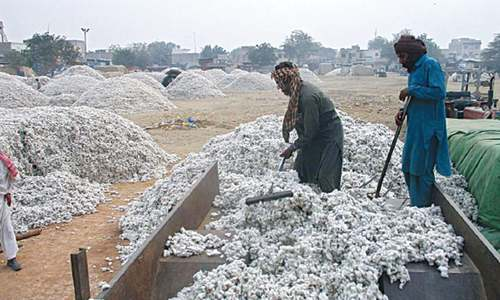 Cotton crop suffers major losses