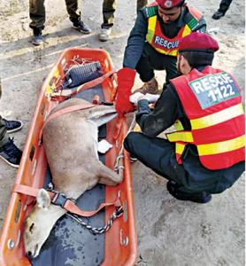 Rescue 1122 staff catches wild deer