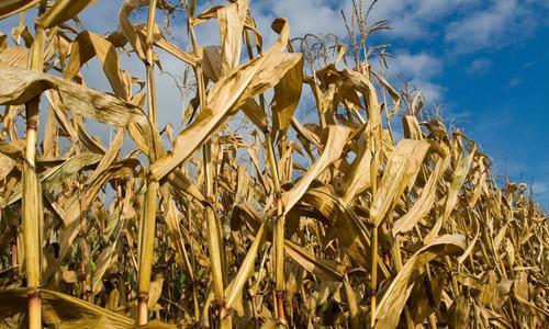 ماحولیاتی تبدیلیوں کے باعث غذائی اجناس کی کمی