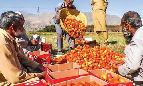 Swat tomato growers earning huge profits