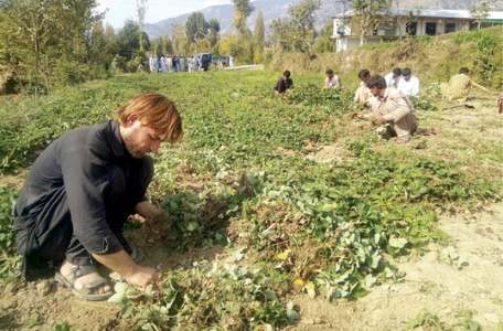 Strawberry nurseries a handsome source of income for Dir farmers