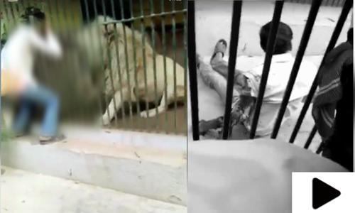 کراچی کے چڑیا گھر میں ببر شیر کا اپنے ہی نگہبان پر حملہ