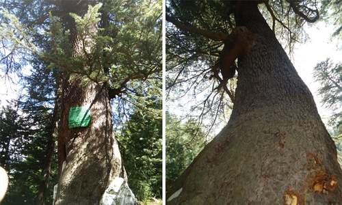 پاکستان میں درختوں کا 'کے ٹو' کبھی دیکھا ہے؟