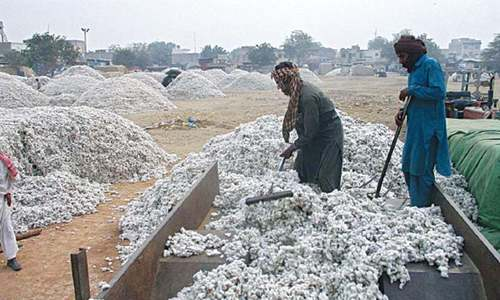 Climate damage to cotton crop ripples through economy