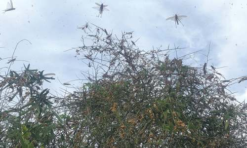 Scourge of locusts refuses to go away, reappears in Thar, Badin, Mirpurkhas