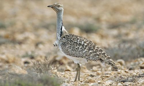 Population of houbara bustard in Punjab declining: report