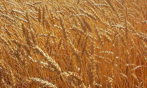 ملک میں گندم کا بحران: معاملے کی تحقیقات کیلئے کمیٹی قائم