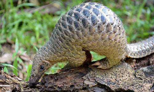 Pangolin identified as potential link for coronavirus spread
