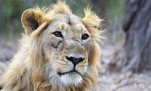 Lions devour teenager in Lahore safari zoo