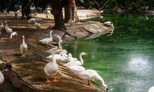 China to send 'duck army' to help Pakistan fight locusts