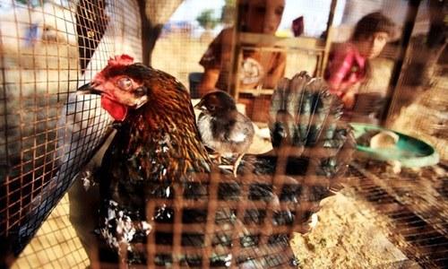'دڑبا' یا 'ڈربا'؟ مرغیوں سے کون پوچھے کہ ٹھیک لفظ کیا ہے