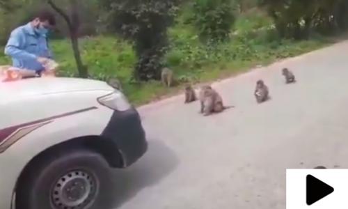اسلام آباد پولیس کے اہلکار نے بھوکے بندروں کو کھانا کھلا کر انسانیت کی مثال قائم کردی
