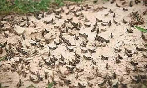 FAO prepares crisis appeal for Pakistan's locust issue