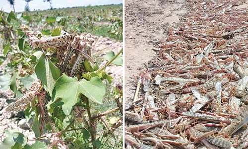 Locusts continue damaging crop, mostly in south Punjab