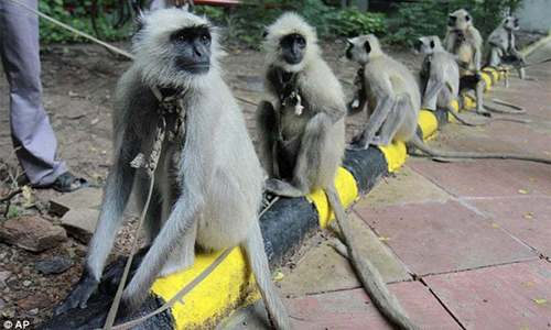 Monkeys develop virus immunity after infection, vaccine: studies