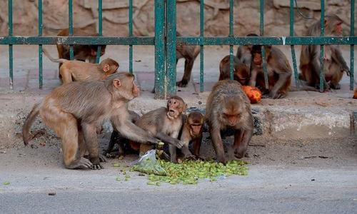 بھارت: بندروں نے لیب ٹیکنیشن سے کورونا مریضوں کے خون کے نمونے چھین لیے
