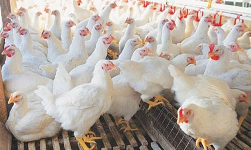 Poultry traders postpone strike as govt forms panel to resolve price issue