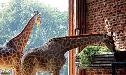 Another giraffe dies in Peshawar zoo