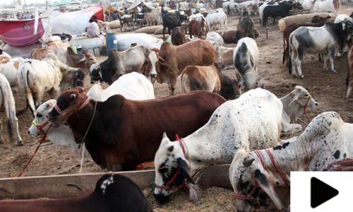 کراچی کی مویشی منڈی میں خوبصورت جانور شہریوں کی توجہ کا مرکز