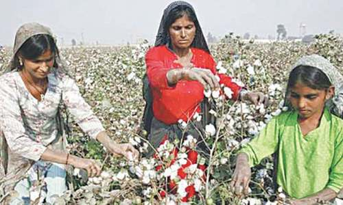 Cotton cultivation down 1.3pc