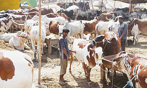 سندھ میں ایس او پیز کے تحت مویشی منڈیوں کی اجازت، بچوں کے داخلے پر پابندی