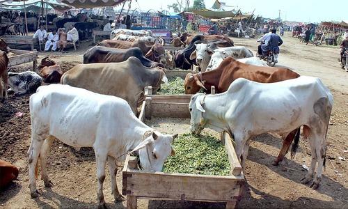 جب 10، 20 ہزار میں ہی گائے مل جایا کرتی تھی