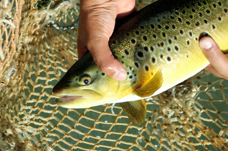 Trout farms at risk of financial ruin after pandemic