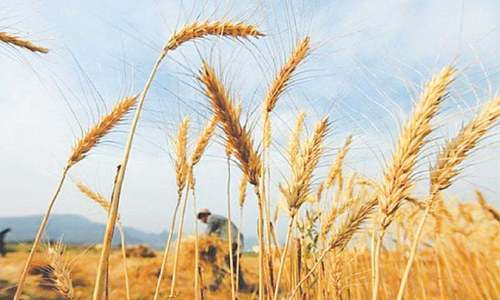 Let's grow more wheat—wisely