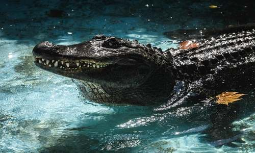 World's oldest captive alligator marks 83 years in Belgrade zoo