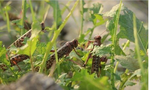 Can Pakistan go beyond chemical pesticide for locust control?