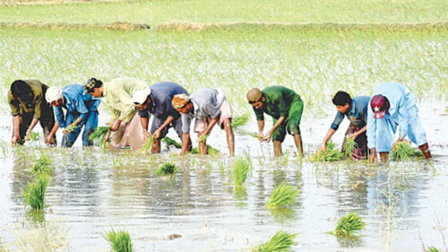 Rain spells disaster for Sindh's agriculture sector